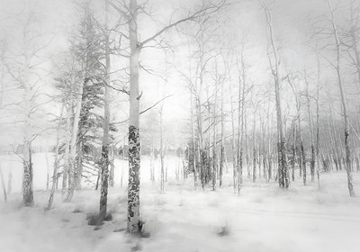 Aspens in Winter
