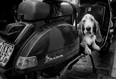 Guard dog, Crete, Greece