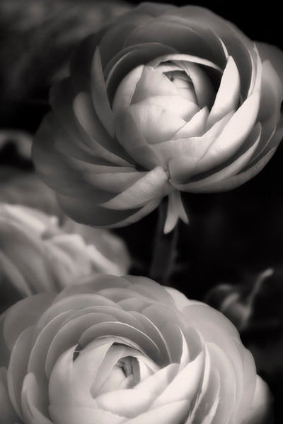 Platinum Rose