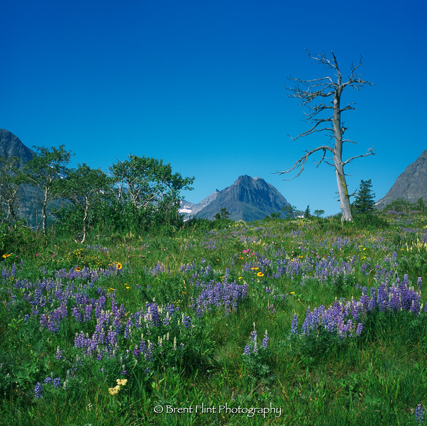 S.5154 - snag, lupine, and other wildflowers at Many Glacier meadow, Glacier National Park, MT.