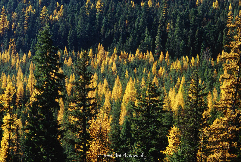 S.4110 - Western larch and evergreens, Kootenai National Forest, MT.