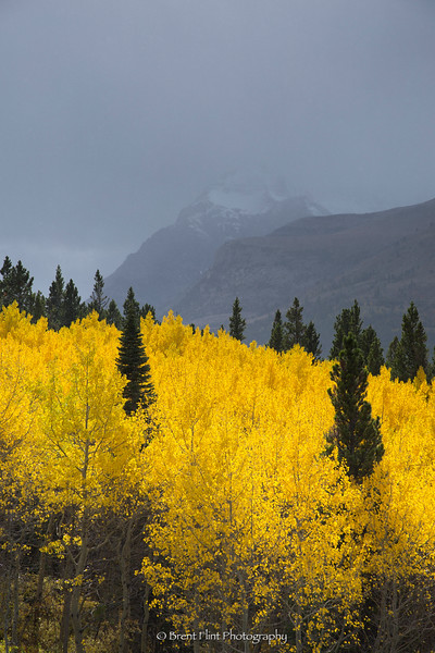 DF.4095 - aspen and mountains in Autumn, Glacier National Park, MT.