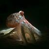 Octopus - Monterey, CA - 2020