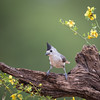 """Black-crested Titmouse"" Lindsay Donald"