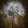 The Last Dandelion