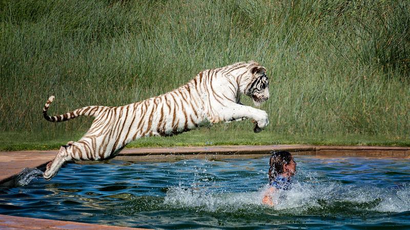 Tiger Splash