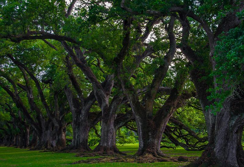 Oaks in a Line