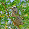Squirrel Karoke