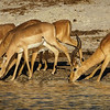 An Impala and His Harem