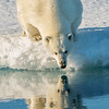 Polar Bear Reflection II