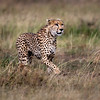 Stalking Cheetah