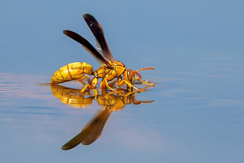 Thirsty yellow Wasp