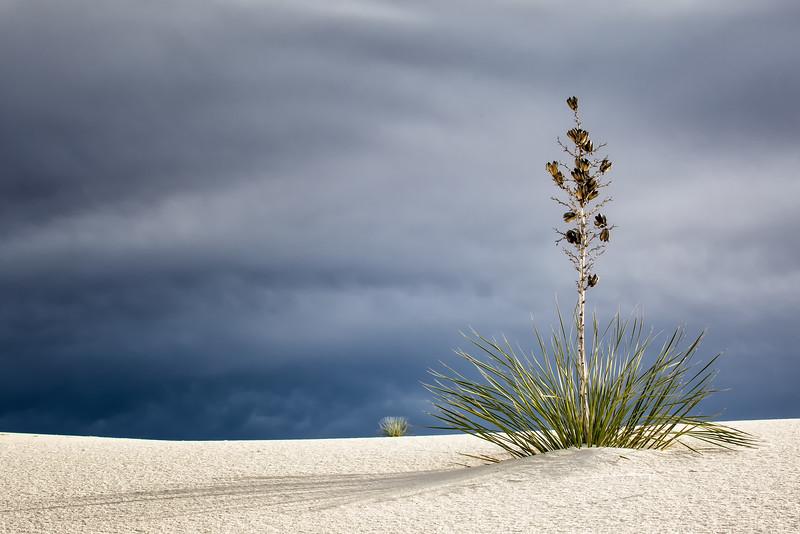 Proud Yucca
