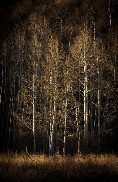 Spotlit Fall Aspens