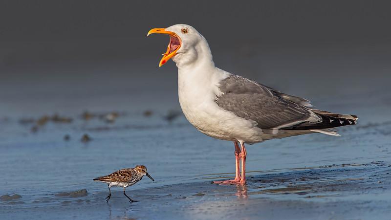 Western Gull and Western Sandpiper