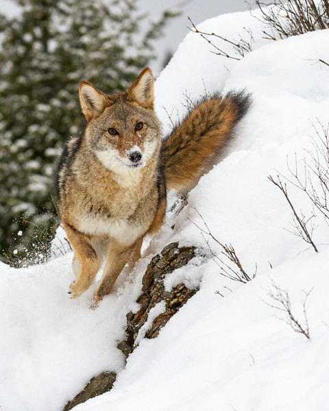 Cavorting Coyote
