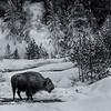 Winter Bison