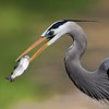Heron with Trout
