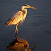 Blue Heron at Sunrise