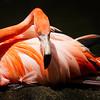 Seated Flamingo