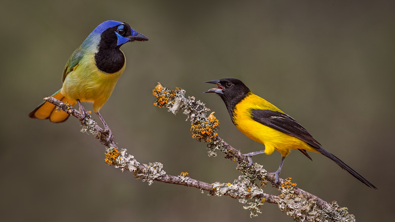 Audubon's Oriole and the Green Jay