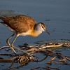 African Jacana Stalking Breakfast
