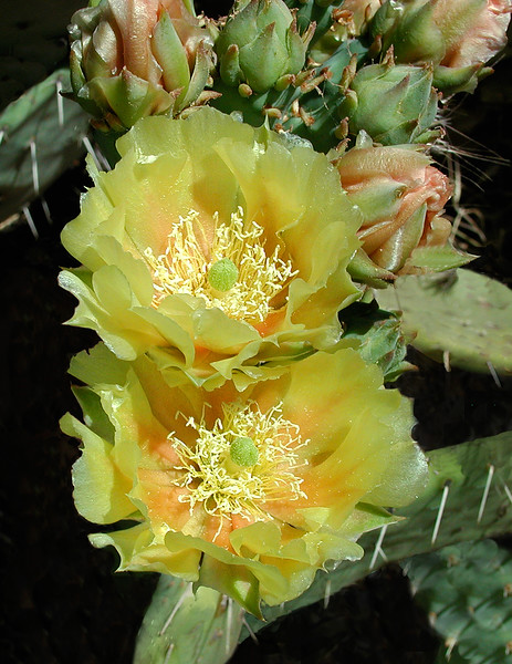yellow-orange cactus flowers.jpg