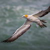 Australasian Gannet