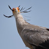 Quizzical Secretary Bird