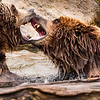Grizzly Scene