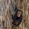 Mischievous Chimp