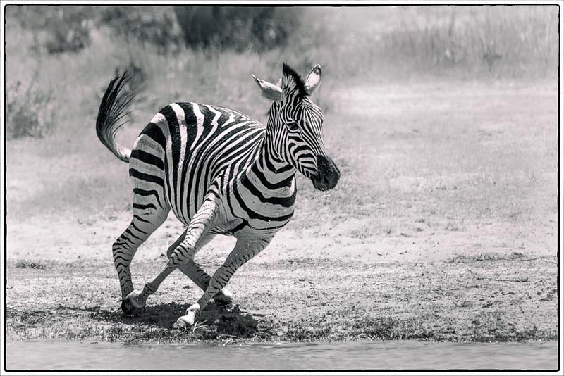 Zebra in Motion