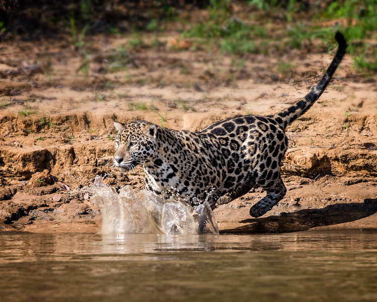 Jaguar Splash