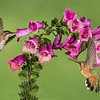 Hummingbirds and Foxglove