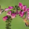 Hummingbirds and Foxglove
