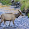 Elk Crossing