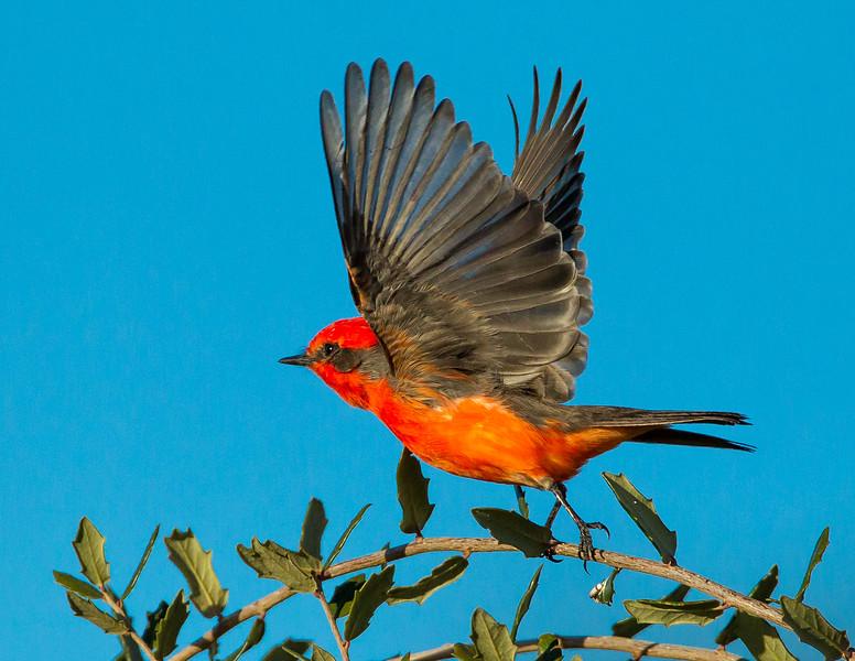Vermillion Flycatcher,