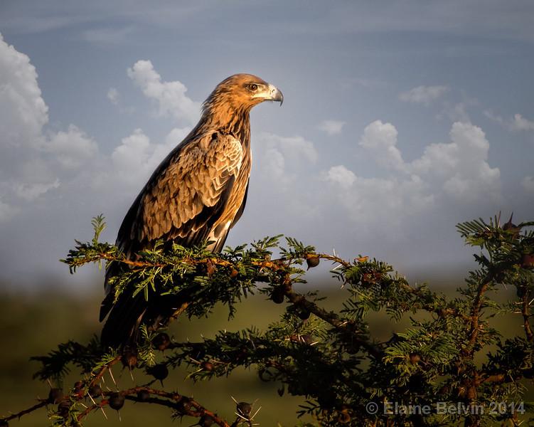 Tawny Eagle Intensity