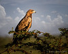 Tawny Eagle Intensity