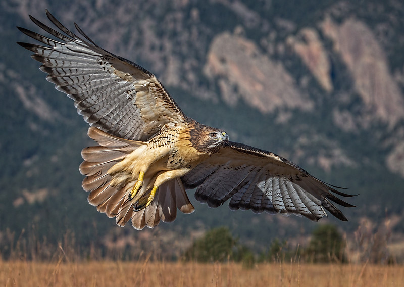 Red-tail Hawking