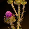 Wooly Thistle