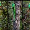 Resplendent Quetzal Triptych