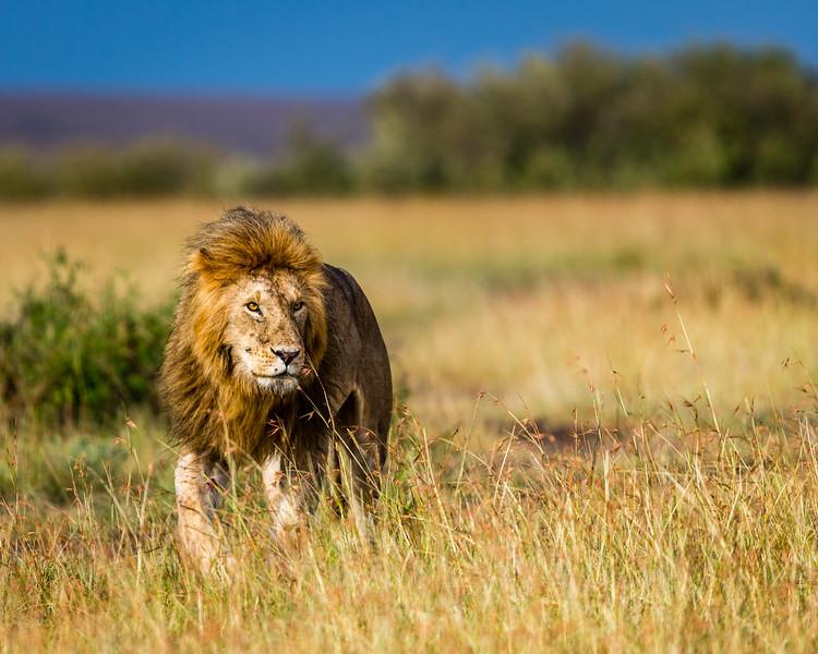 Patrolling His Territory