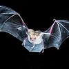 Pallid Bat in Flight