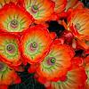 Claret Cup Blossoms