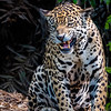 Irritated Jaguar