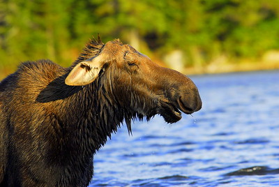 Laughing Moose