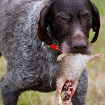 The German Wirehaired Pointer