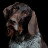 The German Wirehaired Pointer :