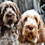 Ruben and Woody Italian Spinone Puppies